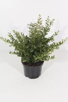 Ilex crenata 'Stokes' | Hulst (Ø 17cm pot)