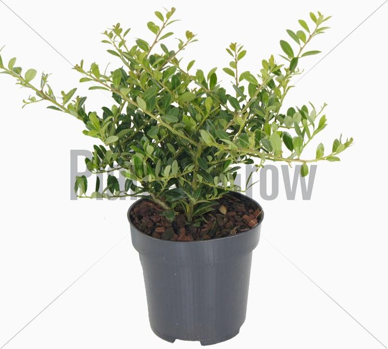 ilex crenata 39 stokes 39 kopen plant grow. Black Bedroom Furniture Sets. Home Design Ideas