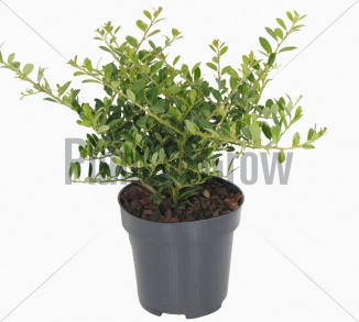 Ilex crenata 'Stokes' | Hulst (Ø 9cm pot)