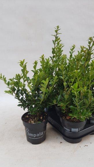 Ilex maximowicziana kanehirae | Japanse hulst (pot 9x9cm)