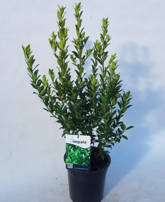 Ilex maximowicziana kanehirae | Japanse hulst Ø 17cm pot)