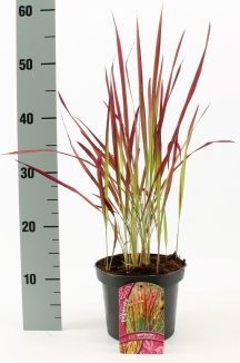 Imperata cylindrica 'Red Baron' | Japans bloedgras (Ø 17cm pot)