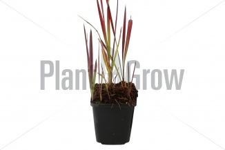 Imperata cylindrica 'Red Baron' | Japans bloedgras (pot 9x9cm)