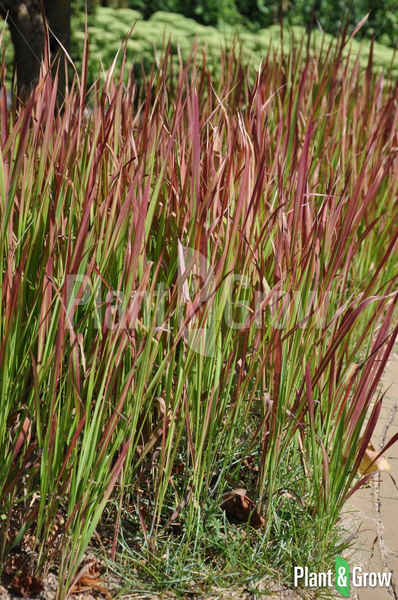 imperata cylindrica 39 red baron 39 japans bloedgras kopen plant grow. Black Bedroom Furniture Sets. Home Design Ideas