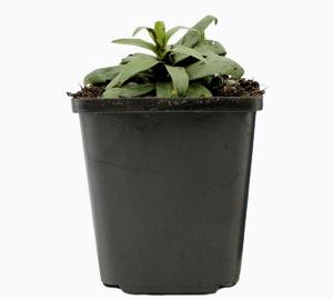 Inula ensifolia Alant
