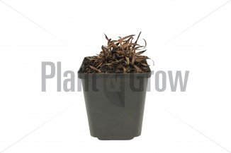 Inula ensifolia | Alant (pot 9x9cm) - WINTER
