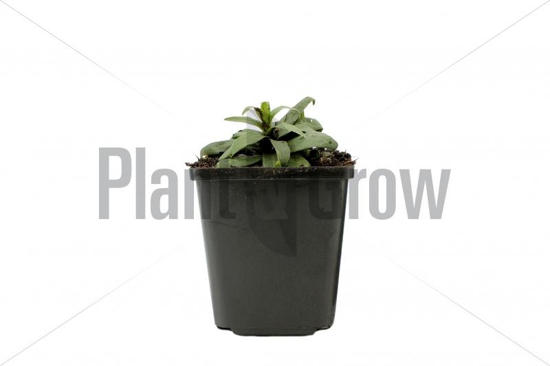Inula ensifolia | Alant (pot 9x9cm) - VOORJAAR