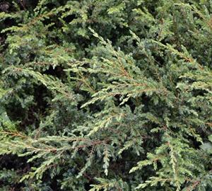 Juniperus communis 'Repanda' Kruipende jeneverbes