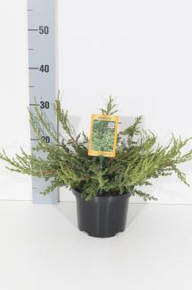 Juniperus communis 'Repanda' | Kruipende jeneverbes (Ø 17cm pot)