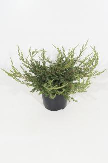 Juniperus communis 'Repanda' | Kruipende jeneverbes (Ø 17cm pot)