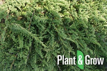 Juniperus horizontalis 'Prince of Wales' | Canadese jeneverbes