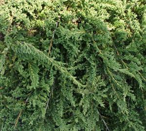Juniperus horizontalis 'Prince of Wales' Canadese jeneverbes