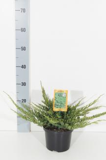 Juniperus horizontalis 'Prince of Wales' | Canadese jeneverbes (Ø 17cm pot)