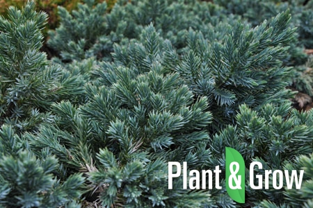 Juniperus squamata 'Blue Star' | Jeneverbes