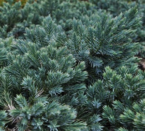 Juniperus squamata 'Blue Star' Jeneverbes