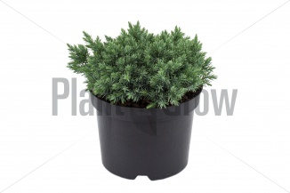 Juniperus squamata 'Blue Star' | Jeneverbes (Ø 17cm pot)