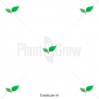 Plantafstand | Juniperus squamata 'Blue Star' (Ø 17cm pot)