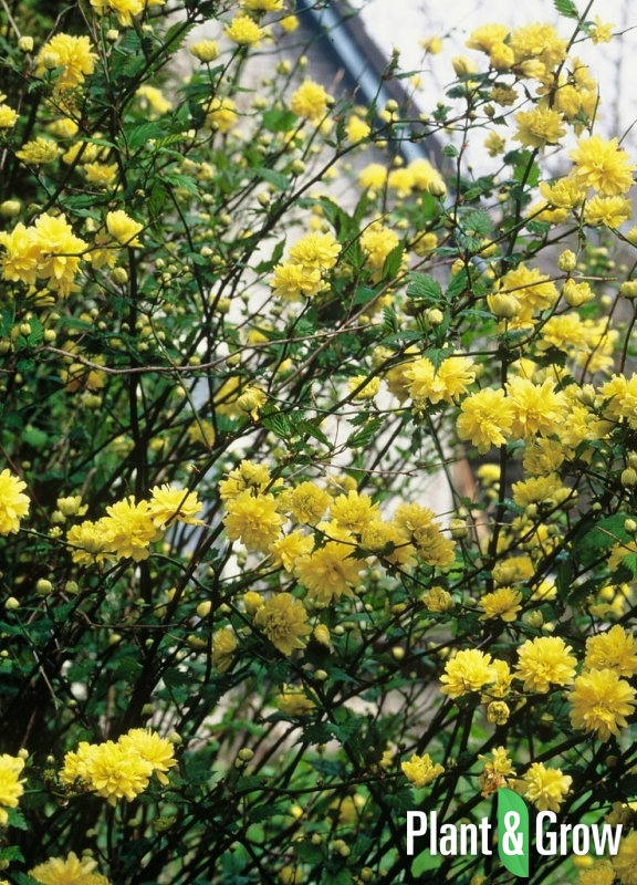 kerria japonica 39 pleniflora 39 kopen plant grow. Black Bedroom Furniture Sets. Home Design Ideas