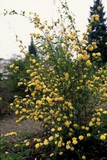 Kerria japonica 'Pleniflora' | Ranonkelstruik