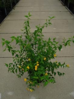 Kerria japonica 'Pleniflora' | Ranonkelstruik (12L pot)