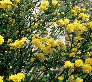 Kerria japonica 'Pleniflora' Ranonkelstruik