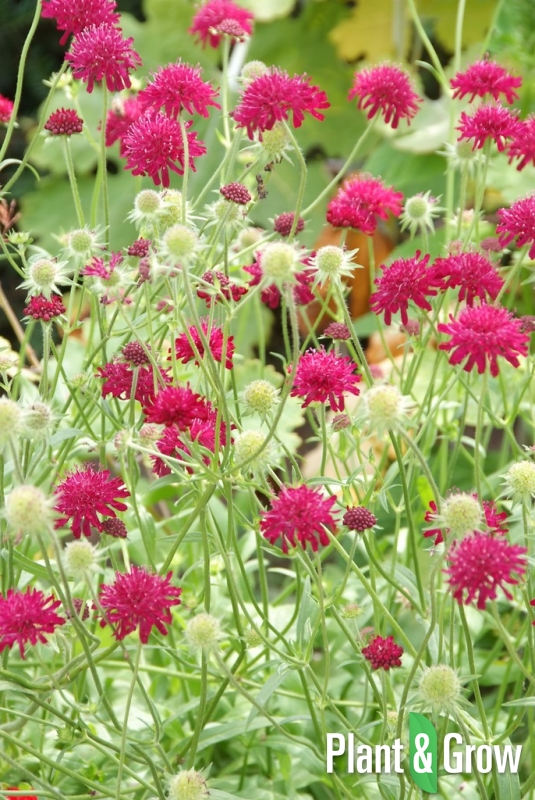 Knautia macedonica | Beemdkroon
