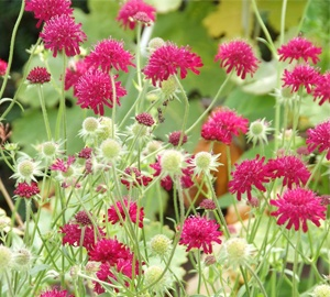 Knautia macedonica Beemdkroon