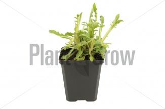 Knautia macedonica | Beemdkroon (pot 9x9cm) - VOORJAAR