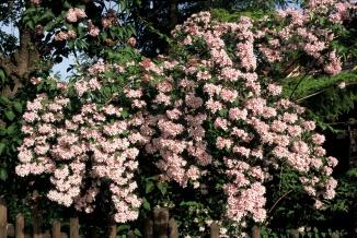 Kolkwitzia amabilis 'Pink Cloud' | Kolkwitzia