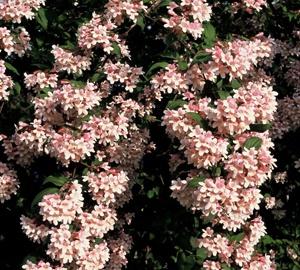Kolkwitzia amabilis 'Pink Cloud' Koninginnestruik