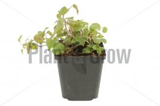Lamiastrum galeobdolon 'Florentinum' | Gele dovenetel (pot 9x9cm)