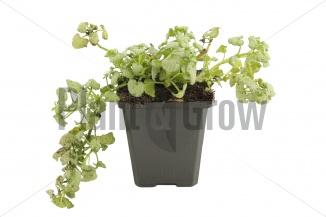 Lamium maculatum 'White Nancy' | Dovenetel (pot 9x9cm)