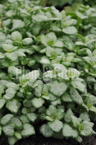 Lamium maculatum 'White Nancy' | Dovenetel