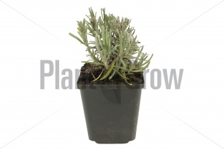 Lavandula angustifolia 'Dwarf Blue' | Lavendel (pot 9x9cm) - WINTER