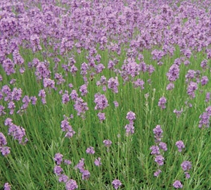 lavandula angustifolia 39 munstead 39 lavendel kopen. Black Bedroom Furniture Sets. Home Design Ideas