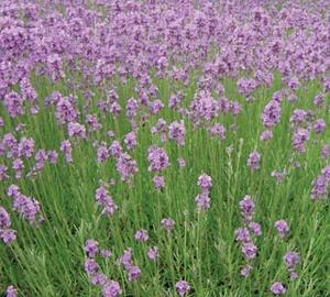 Lavandula angustifolia 'Dwarf Blue' Lavendel