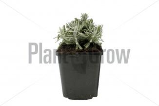Lavandula angustifolia 'Hidcote' | Lavendel (pot 9x9cm)