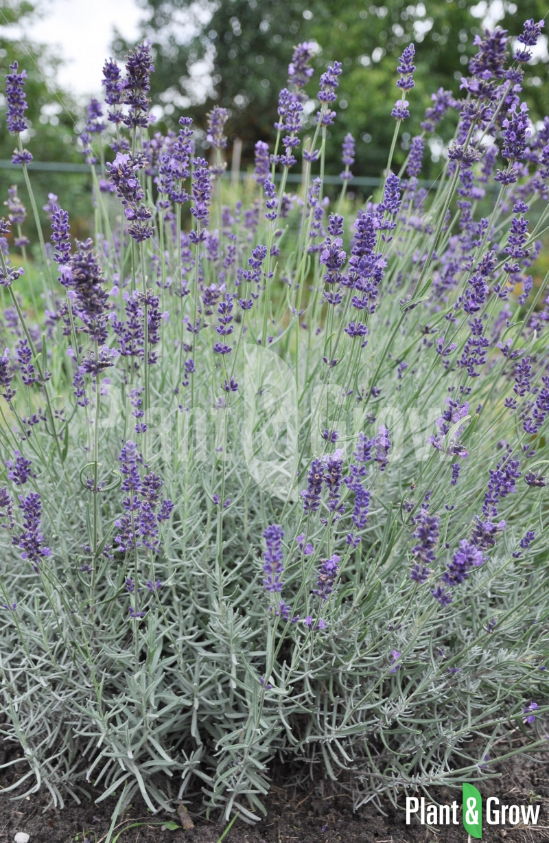lavandula angustifolia 39 hidcote 39 lavendel kopen plant. Black Bedroom Furniture Sets. Home Design Ideas