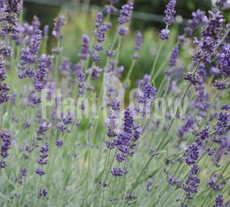Lavandula angustifolia 'Hidcote' Lavendel