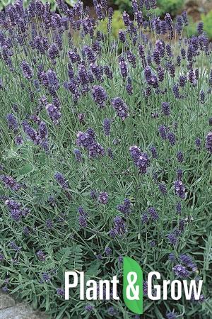 Lavandula angustifolia 'Munstead' | Lavendel