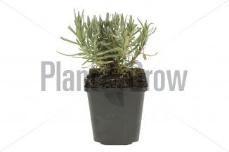 Lavandula angustifolia 'Munstead' | Lavendel (pot 9x9cm)