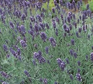 Lavandula angustifolia 'Munstead' Lavendel