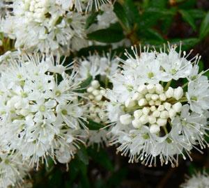 Ledum groenlandicum 'Helma' Moeraspalm