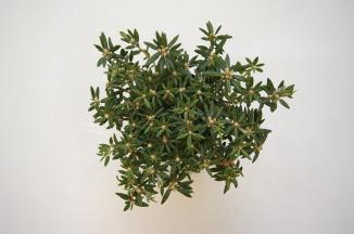 Ledum groenlandicum | Moeraspalm (Ø 17cm pot)