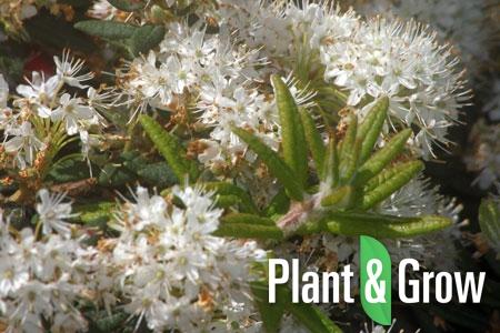 Ledum groenlandicum | Moeraspalm
