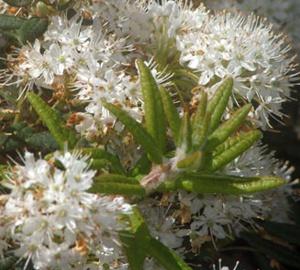 Ledum groenlandicum Moeraspalm