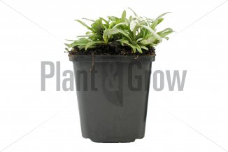 Leontopodium alpinum | Alpen-edelweiss (pot 9x9cm)