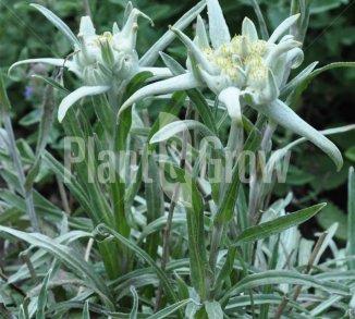 Leontopodium alpinum Alpen-edelweiss