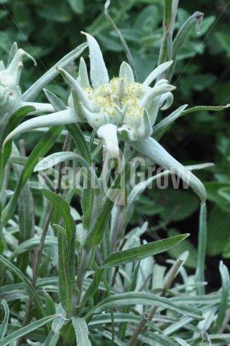 Leontopodium alpinum | Alpen-edelweiss