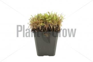 Leptinella potentillina 'Platt's Black' | Koperknoopje (pot 9x9cm)